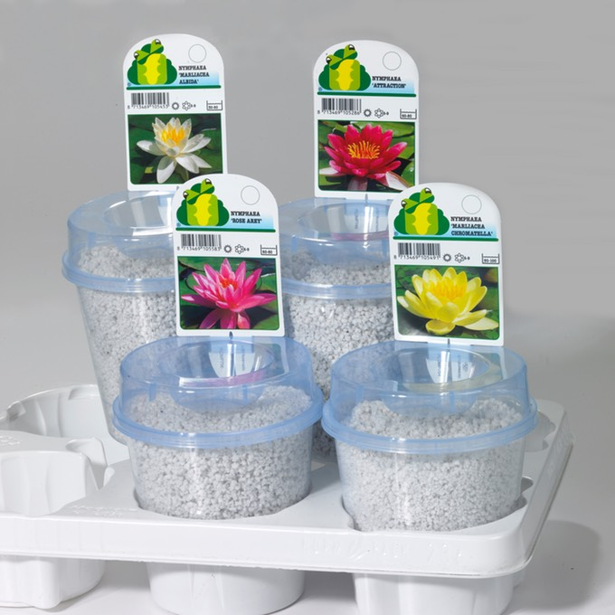 Waterlily B13 perlite